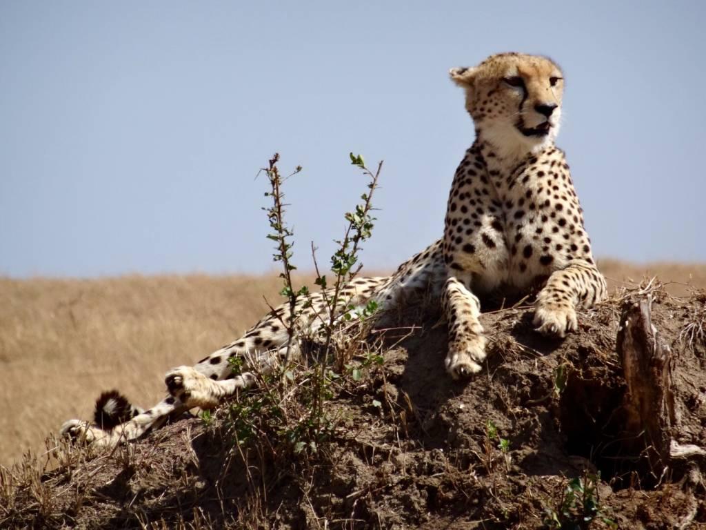 Wildlife Masai Mara   photo gallery wildlife leopard in